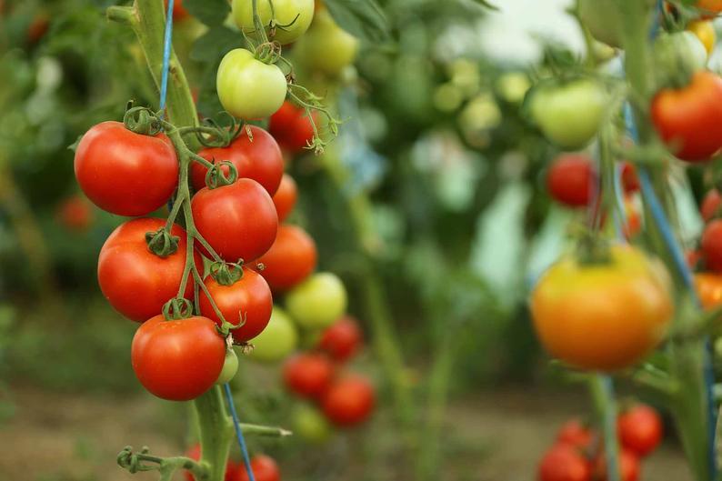 Équinoxe de printemps: comment planter des tomates en pot et en